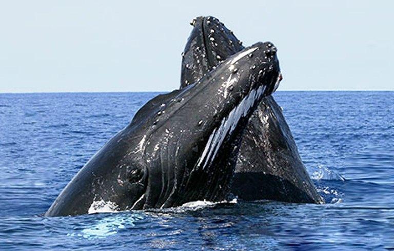 Las ballenas turistas de Samaná Caribbean News Digital
